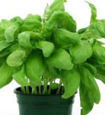 products_3018244-basil.jpg