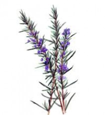 products_8555406-rosemary.jpg